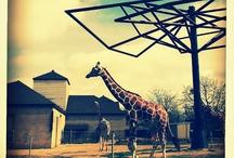 Giraffe / Como Zoo's Giraffes