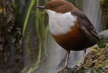 Birds-Cinclidae-Dippers