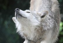 Relaxed wolf