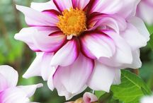 Dahlias - I just love their colours and the joy they give in the autumn months.