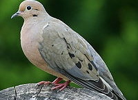 Oiseaux de ma cour