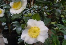 Camellia | Camellia