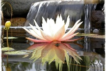 Lotus and Waterlilies / by Town and Country Living