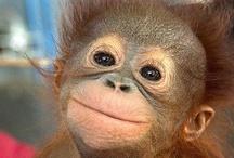 Kis majmok