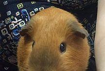 Adopt a Guinea Pig/Hamster