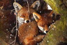 lisy i jelenie  xD