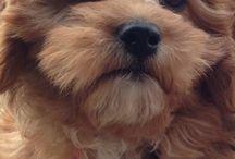 Bella the cavoodle / my cavoodle puppy Bella