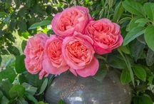 Rose Mademoiselle Meilland ® Meinostair / Découvrez notre magnifique rosier Mademoiselle Meilland ® Meinostair