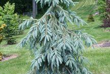 Picea engelmannii-(Sziklás-hegységi szürke luc)