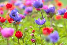 Anemone Flower / Anemones also know as Wildflowers make excellent cut flowers for all special events or to make any room come alive. Anemones are delicate flowers and come in a range of colors.