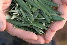 chá folha de oliveira