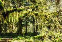 HOH Rainforest / Receiving 12 to 14 feet of rain per year, the Hoh Rainforest is one of the best examples of temperate rainforest in the world. Fallen, moss-covered trees, grazing Roosevelt elk, and the milky Hoh River all intertwine to create an ecosystem that breathes life into your visit.