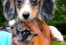 dashhounds