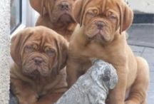 Dogs / Bordeaux