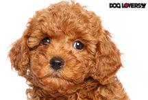 Dog-Lovers Breeds / Information about dog breeds