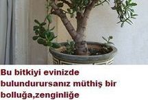 zenginlik bitkisi