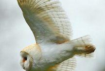 owls/ugglor