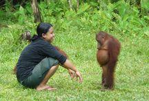 Orangutans Everywhere!