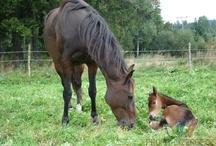Koníci - horses / Obrázky koníků a hříbátek k prodeji