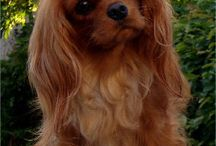 Cavalier King Charles / Adorable x