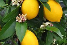 Citrus in pots