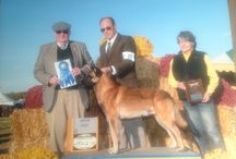 Belgian Malinois / Love the Beligian Malinois? This is a board that is all about these gorgeous and versatile dogs!