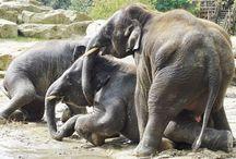 Elephants/Olifanten in Emmen / Ik volg al 7 jaar de kudde olifanten in Dierenpark Emmen . Ik heb ook een facebookpagina aangemaakt voor het jongste vrouwtje Swe Zin (7) Voor meer foto's ga naar Swe Zin op FB ...