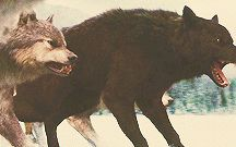 Wolf  《GIF》