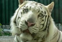 Tigers & Cats :)
