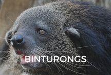 Binturongs