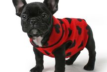 French Bulldogs / I really like them