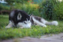 Siberian husky / Husky