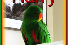 Parrots Rock! / Eclectus parrots, though most specifically my brilliant and very green rascal Harry