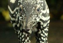 Cute Tapirs