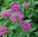 PPP - Bee Balm