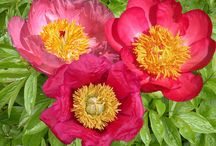 Herbaceous Peony Collections