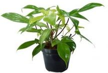 Tanaman Indoor / Semua tanaman dalam board ini bisa dikirim keseluruh Indonesia, silahkan order ya, tel: 0341-599399 I SMS center: 08569020300 atau kunjungi website kami www.kebunbibit.id