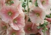 Flowers / Hollyhock
