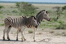 Туры в Африку / Тур в Африку с русским гидом и элементами сафари в национальных парках стран: ЮАР, Намибия, Ботсвана, Замбия, Эфиопия. Изучение африканских племен. Природные ландашафты, каньоны, реки, скалы и величественные пустыни. Поехали с нами?