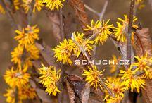 Kvetoucí vilíny/Blooming witch hazel / Tato nástěnka se týka období, ve kterém dominuje kvetoucí rod Hamamelis z čeledě Hamamelidaceae. Jsou zde vybrány nejzajímavější příklady květů z naší okrasné školky.