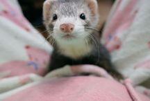 My Ferret / My Ferret