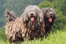 """Bergamasco / A sheepdog with a strong work ethic, the Bergamasco's most unique characteristic is its coat, which contains """"dog hair,"""" """"goat hair"""" and """"wool"""" that combine to form black or gray felt-like mats. The mats grow over the course of the dog's life, reaching the ground at approximately 6 years of age. The coat can actually smell like a sweater when it is wet. But despite its formidable appearance, the Bergamasco is really a trim, athletic sheepdog."""