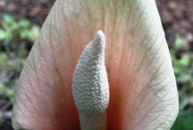 2016 PDN Amorphophallus / Amorphophallus are exotic plants in the aroid family, which includes popular woodland garden perennials such as arisaema (jack-in-the-pulpit) and dracunculus. The name amorphophallus comes from the Latin amorpho (deformed) and phallus (a male anatomical member)...in other words, the flower resembles a deformed male sex organ.