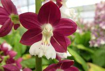 as minhas orkidias