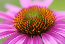 Purple Cone Flower (Echinacea purpurea) / This group of cone flowers (Echinacea purpurea)has been so widely cultivated that there are way too many varieties to include all of them here!