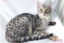 Sittingpretty Savannah Kittens for sale / Our current Savannah kittens for sale  www.sittingprettycats.co.uk