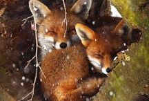 Animals FOXES