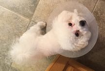 Rosa / It's all about my dog, Rosa Blanco, the Bichon!