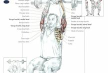 Muscle anatomy - Triceps