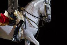 Lipicai horse